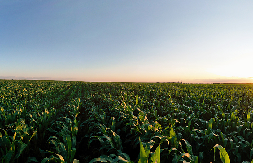 Aerial view of the green corn field. Beautiful agricultural landscape. Panoramic view
