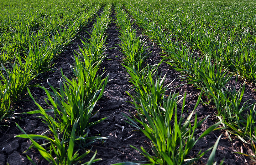 Good crops of winter wheat in the spring farm field Winter wheat sowings