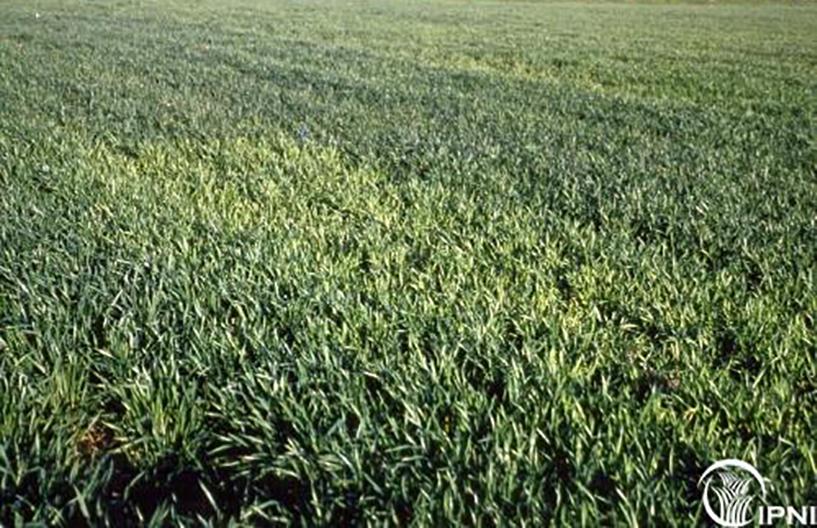 Yellowing wheat crop showing sulfur deficiency in farm field