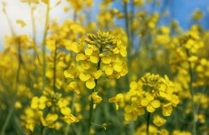 canola field, Blooming canola flowers close up.